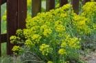 Euphorbia-Spurge