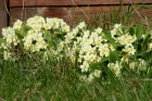 Primrose flowering in April