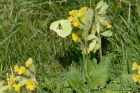 Brimstone Butterfly on Cowslips