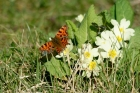 comma-on-primrose-in-garden-15th-march