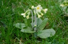 Oxlip (primula elatior) flowering in March