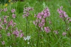 Ragged Robin - May 17