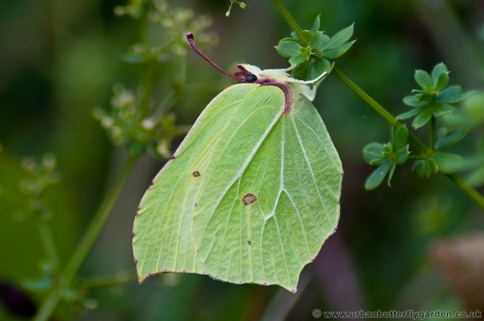 Brimstone Butterfly, English Butterfly, Great Britain Butterfly, Butterfly Name Family, United Kingdom Butterfly