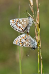 Brown Argus butterflies male and female mating