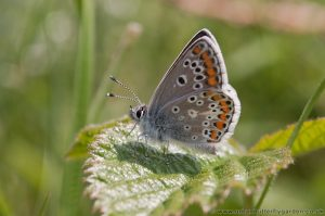 Brown Argus Butterfly (Aricia agestis) - May - Dunstable Downs