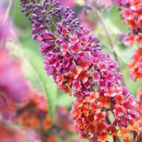 Buddleja Flower Power, weyeriana 'Bicolor' (buddleia Bush)