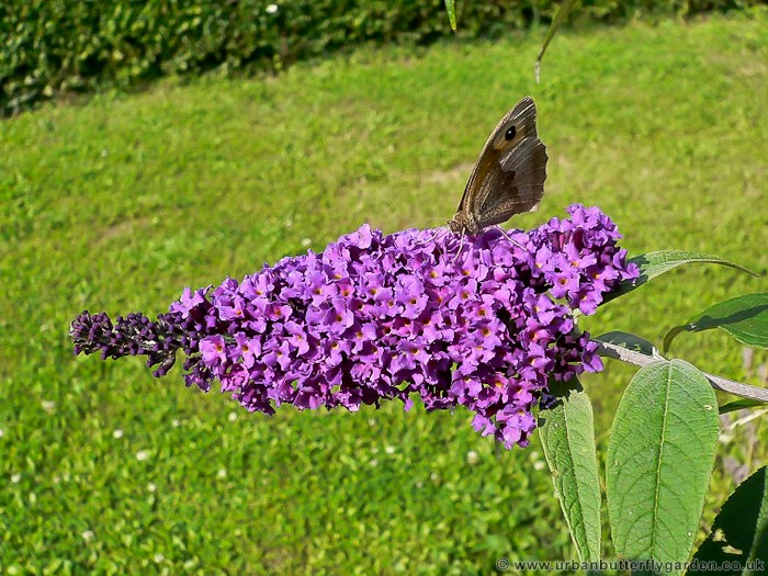 Buddleia Butterfly Bush Buddleja Shrubs Urban Butterfly Garden