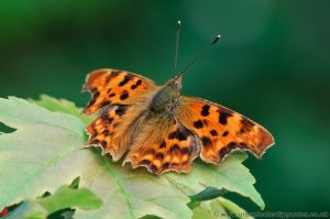 Comma Butterfly (Polygonia c-album) in garden on leaf