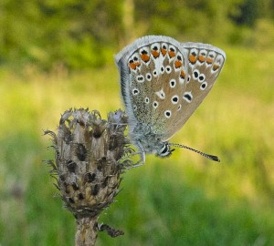 Common Blue Butterfly - on Knapweed