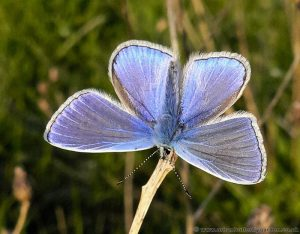 Common Blue Butterfly (Polyommatus icarus) Male in sunshine