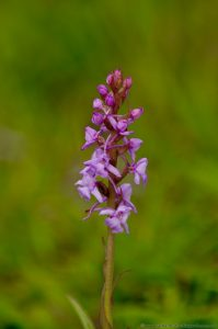 Fragrant Orchid (Gymnadenia conopsea) at Barnack Hills And Holes