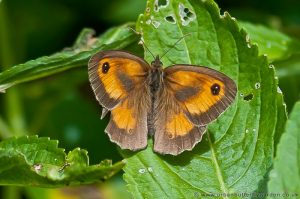 Gatekeeper Butterfly, Small Orange and Brown British Butterfly