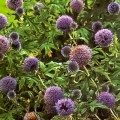 Globe Thistles in border