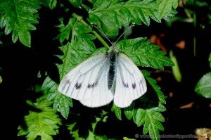 Green-veined White Female
