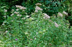 A patch Hemp Agrimony (Eupatorium cannabinum) flowering in local woodland