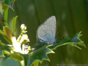 Holly-Blue-Butterfly (Celastrina-argiolus) on Holly (Ilex aquifolium)
