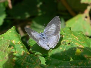 Holly Blue Butterfly- Female-with wings open
