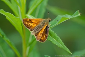 Large Skipper (Ochlodes venata) - Female