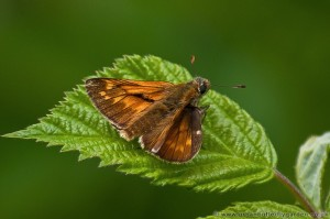 Large Skipper (Ochlodes venata) Male resting on Bramble leaf