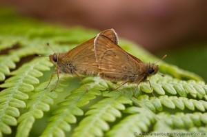 Mating Large Skipper Butterflies, Bedford Purlieus