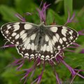 Marbled White Butterfly (Melanargia galathea) wings closed rested on greater knapweed
