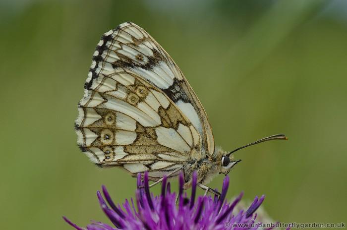 Marbled White Butterfly Melanargia Galathea Urban
