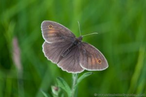Meadow Brown Butterfly - Male