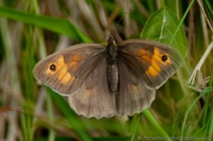 Meadow Brown Butterfly (Maniola-jurtina) - female wings open showing upper-side