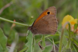 Meadow Brown Butterfly (Maniola-jurtina) Wings Closed