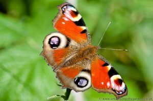 Peacock Butterfly (Inachis io) showing eye spots on wings