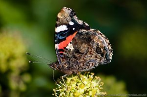 Red Admiral (Vanessa atalanta) wings closed on Ivy flowers