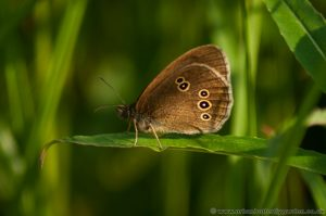 Ringlet Butterfly (Aphantopus hyperantus) with wings closed showing under-side