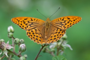 Silver-washed-Fritillary-Male-Bedford-Purlieus