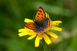 Small Copper Butterfly (Lycaena phlaeas) on yellow flower