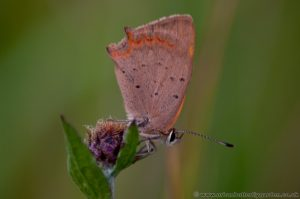 Small Copper Butterfly (Lycaena phlaeas) roosting on Knapweed