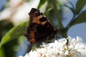 Small Tortoiseshell Butterfly (aglais urticae) wings-closed on Buddleia