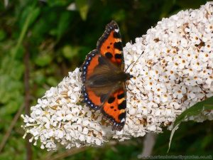 Small Tortoiseshell Butterfly (aglais urticae) in urban garden on white Buddleia