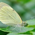 Small White Butterfly (Pieris rapae)