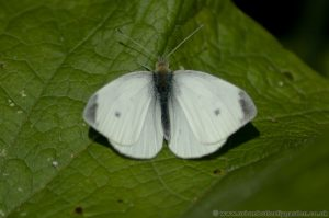 Small White Butterfly (Pieris rapae) with open wings