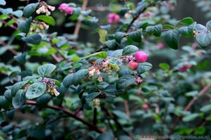 Snowberry Bush with Berrys