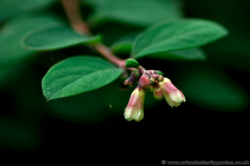 Snowberry Bush Symphoricarpos Spp Urban Butterfly Garden