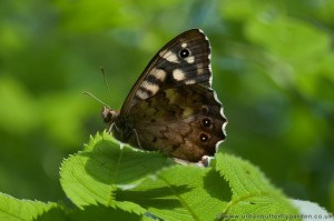 Speckled Wood Butterfly - Urban Butterfly Garden
