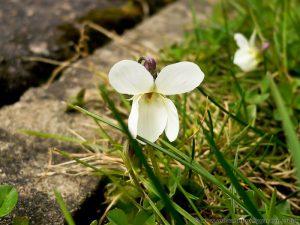 White Violets in garden lawn