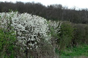 Blackthorn (Prunus spinosa) Shrub Flowering in Native Hedgerow