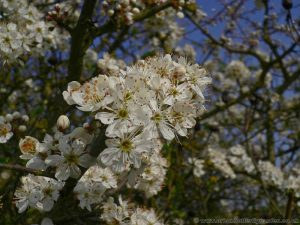 Blackthorn (Prunus spinosa) native shrub in flower