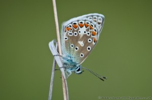 Chalkhill Blue Butterfly - wings closed on grass stem at Barnack hills and holes
