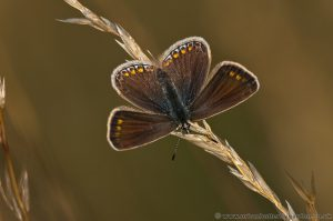 Chalkhill Blue Butterfly- Female - on grass stem wing open Barnack Hills and Holes