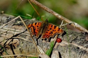 Comma Butterfly (Polygonia c-album) warming up in spring sunshine