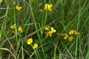 Common Birds-foot Trefoil (Lotus corniculatas) Native British Wild Flower