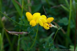 Common Birds-foot Trefoil (Lotus corniculatas) close up of the flowers